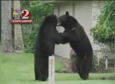 Two Bears Dancing (or Fighting) In Woman's Front Yard